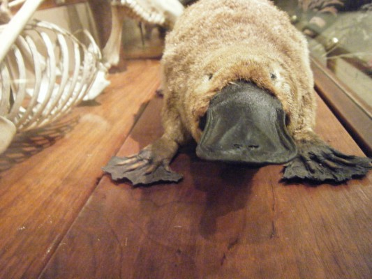 Things You Didn't Know About Australia - Platypus
