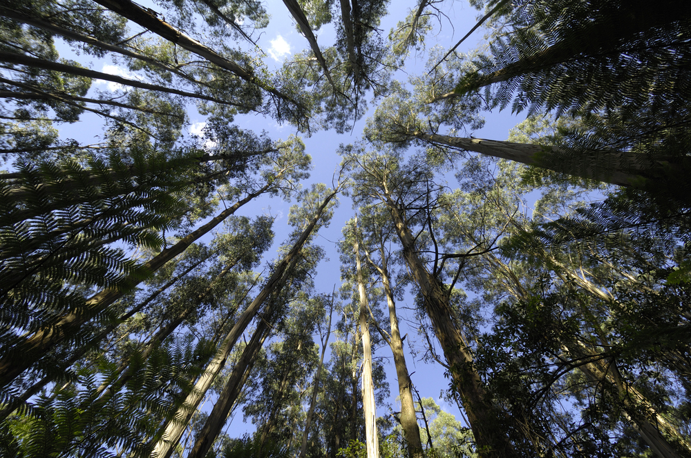 tall trees in Tarra-Bulga